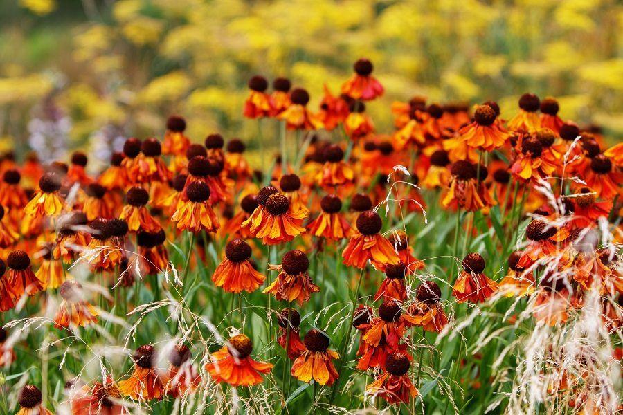 Il fiore dell'echinacea