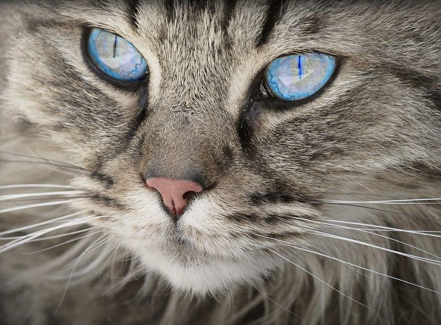 Gli occhi azzurri di un gatto