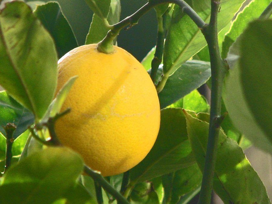 Il limone è utile contro le macchie di inchiostro