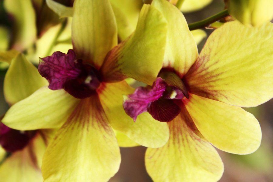 Un'orchidea gialla