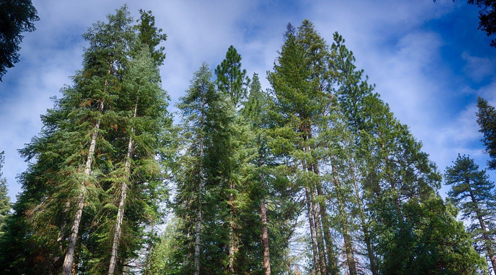 11 motivi per cui gli aghi di pino sono utili per la salute