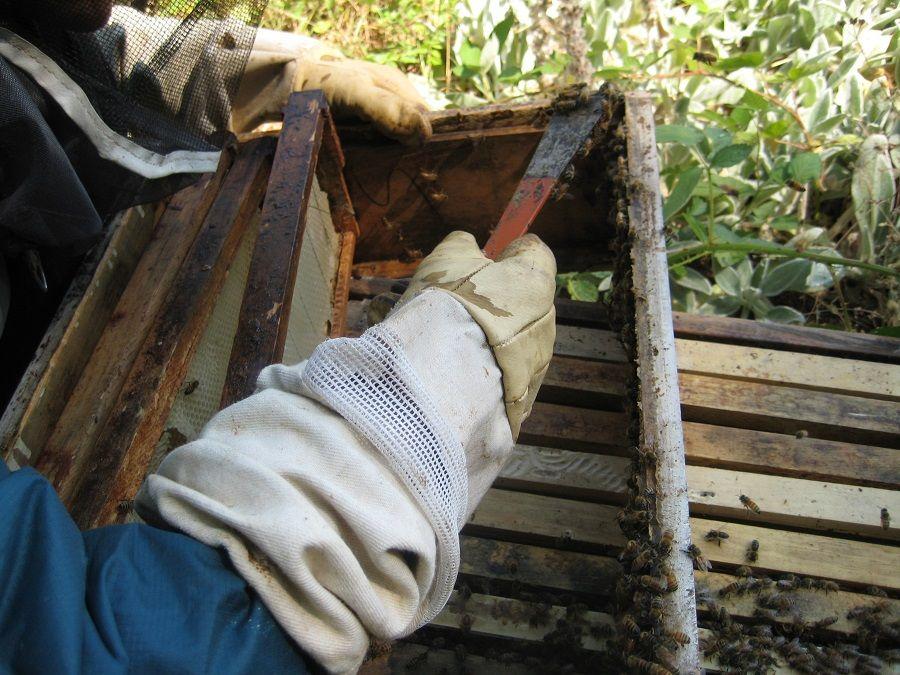 Un apicoltore prende la propoli dall'alveare