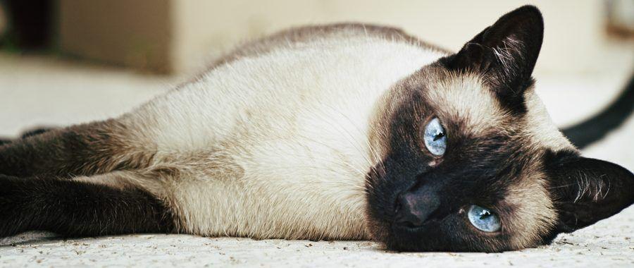 Gatti a ogni razza il suo carattere bigodino for Suo e suo bagno