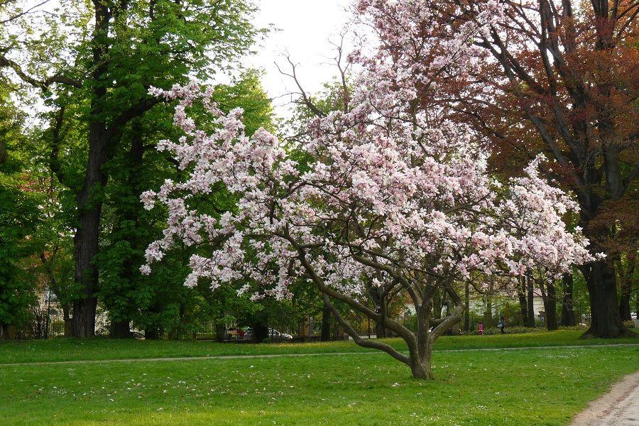 Una magnolia in fiore