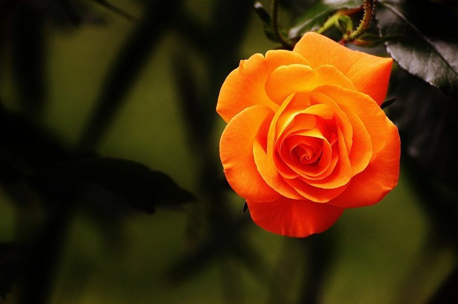 tor-rosa
