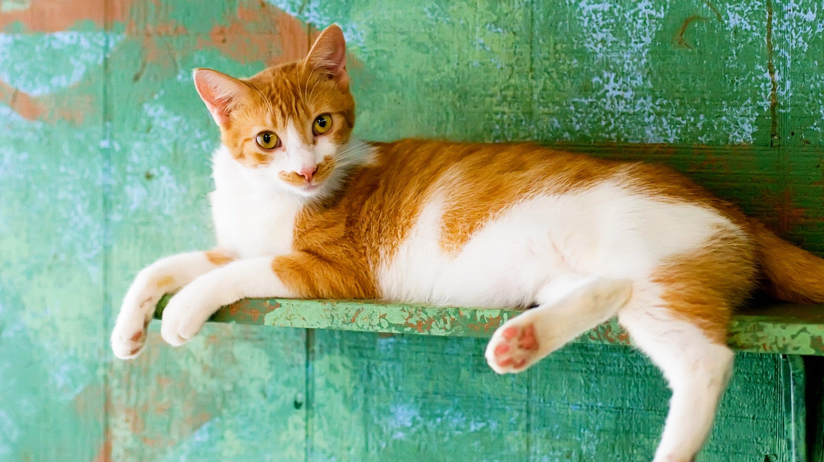 Orange and white cat on a shelf.