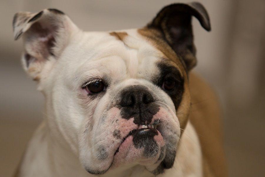 Molto sensibili al Cimurro sono i cani brachicefali