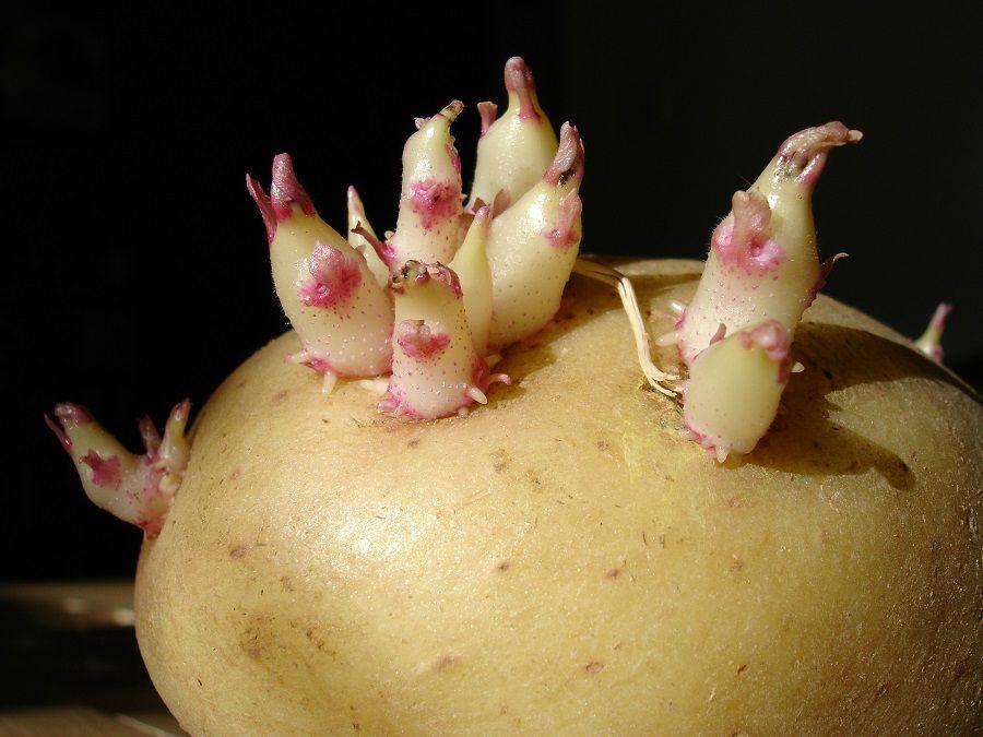 Graziosi germogli sulle patate