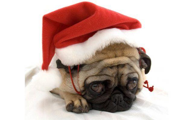 Un baby Carlino con il cappellino natalizio è una dolcezza.