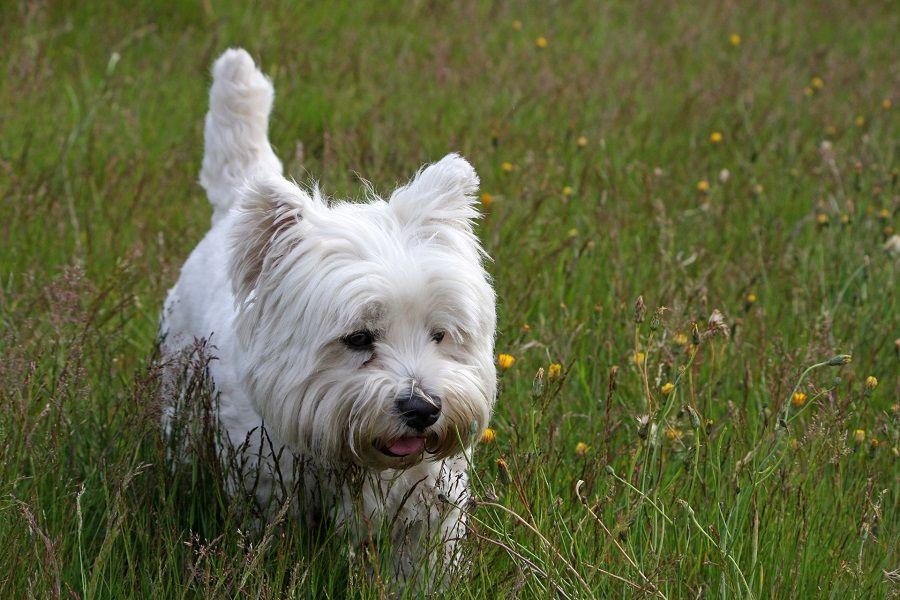 Le ghiandole paranali sono un problema soprattutto per i cani di piccola taglia