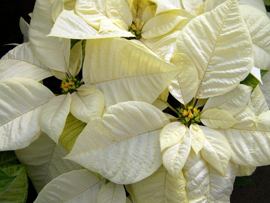 white-poinsettia-18100_1280