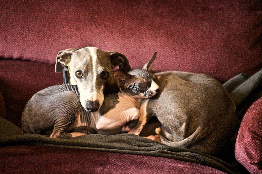 Cane e gatto, proteggeteli dalle pulci