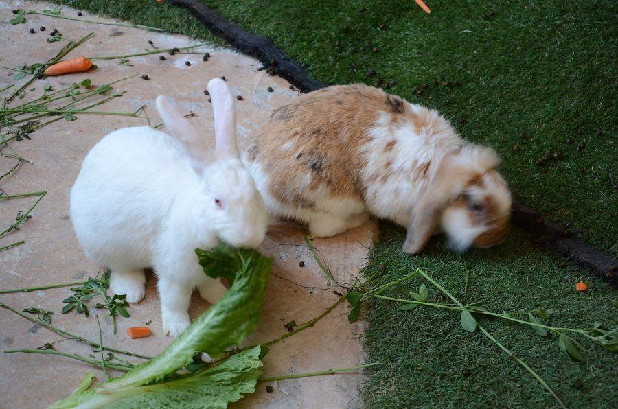 Conigli che mangiano erba, insalata e carote