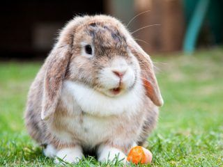 coniglio-carota