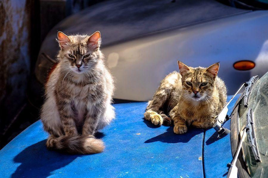 La FIV può essere presente sia in gatti di casa che in gatti di strada