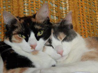 gatti-tricolori