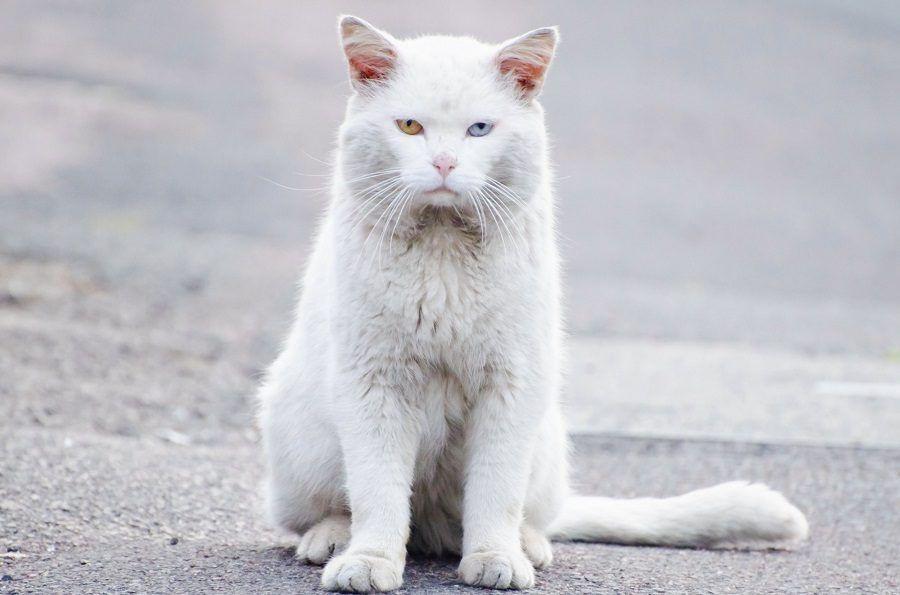 Un gatto bianco con occhi bicolori. Potrebbe essere sordo oppure no
