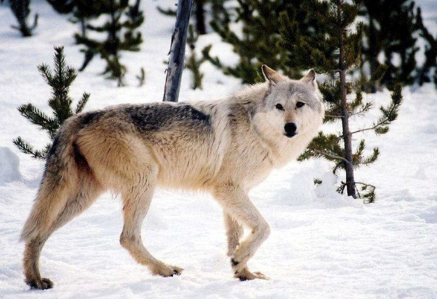 gray-wolf-981634_1280