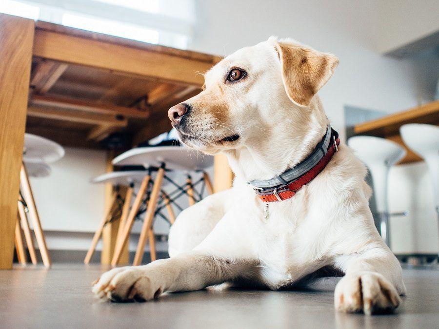 Proteggete anche i cani che vivono in casa, i pappataci non si fermano sulla porta di ingresso