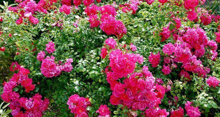 Come potare le rose in inverno bigodino for Potare le rose