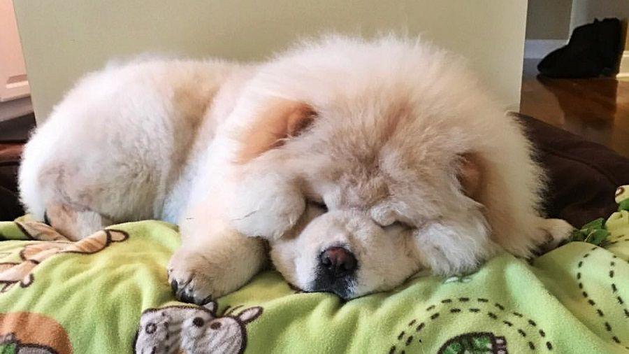Ecco il cucciolo di Chow Chow Todd