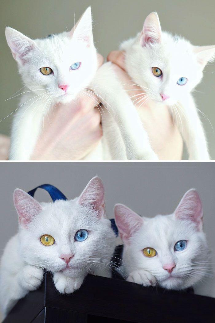 Due gatti bianchi