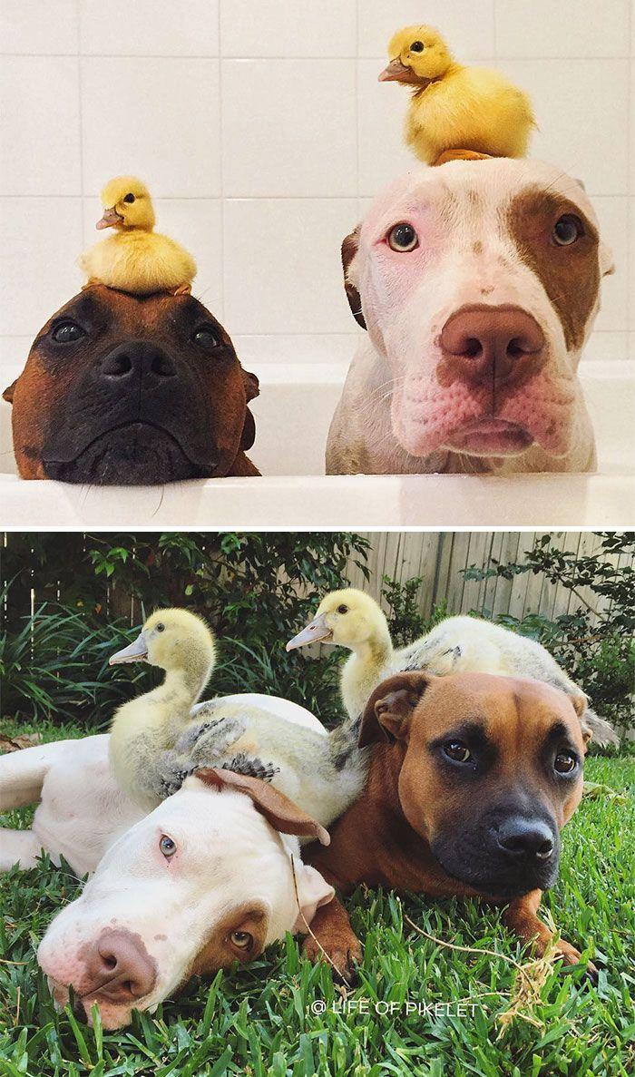 Due papere e due cani