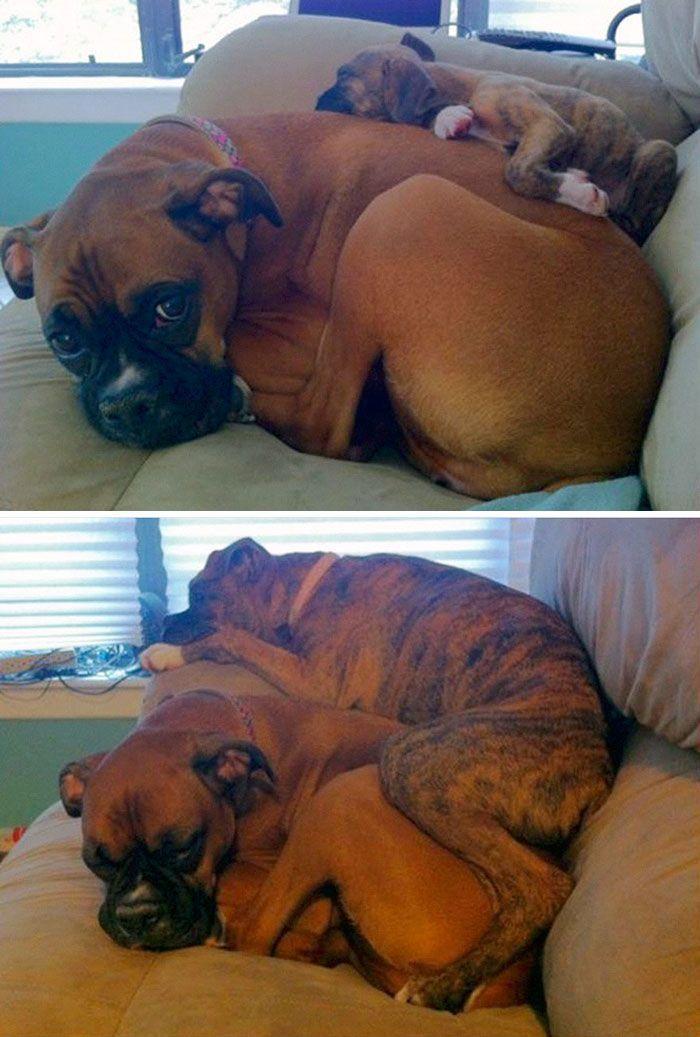 Due cani amanti del divano