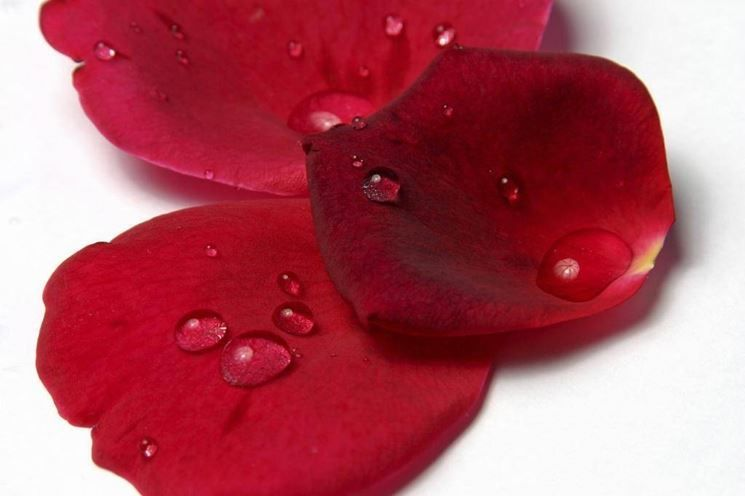 Petali di rosa stabilizzata, a partire da 10 euro