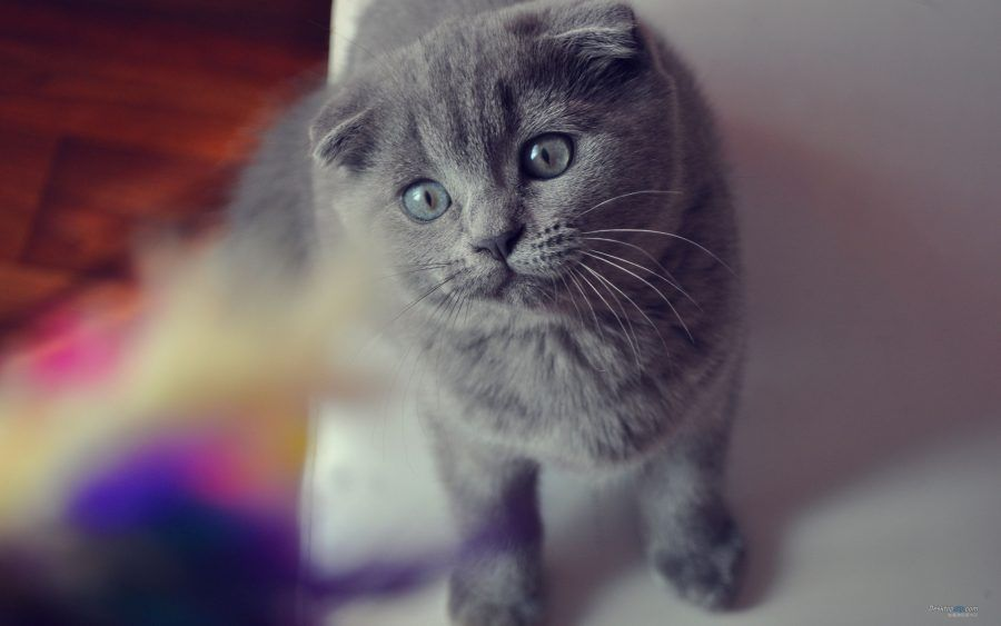 Il gatto dal pelo blu