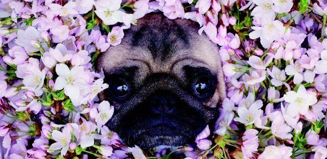 LouLou the Pug immerso nei fiori