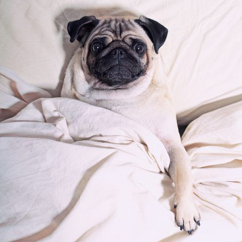 LouLou the Pug mentre dorme