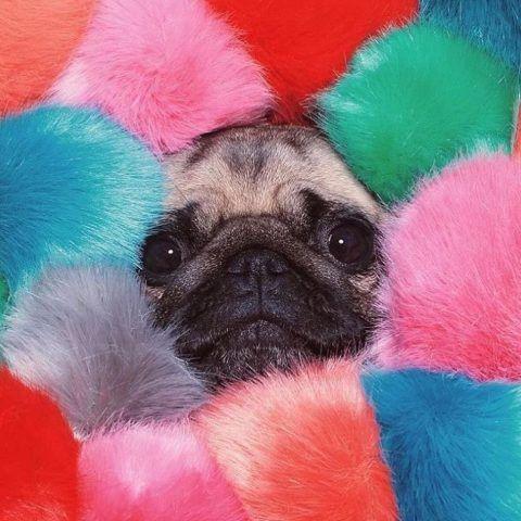 LouLou the Pug immerso in palle di pelo colorate
