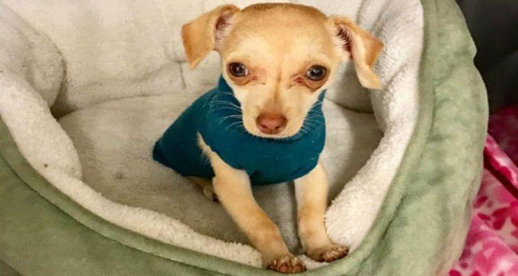 Tiny Chihuahua, lo scricciolo abbandonato con la sua maglia preferita
