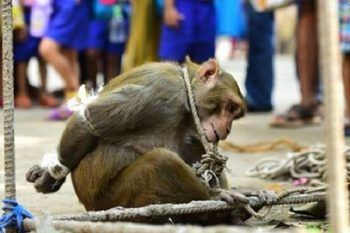 Il macaco aveva rubato un po' di frutta e hanno deciso di punirlo così…