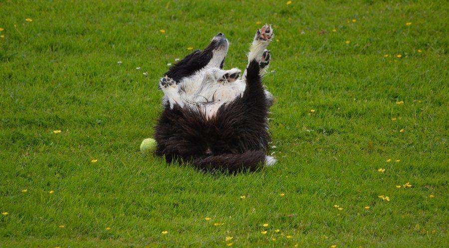 Non stimolate il cane a rotolare sulla schiena, è uno dei fattori predisponenti di GDV