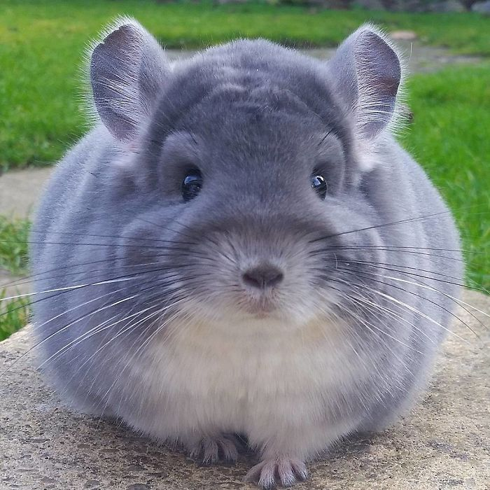 chinchilla14
