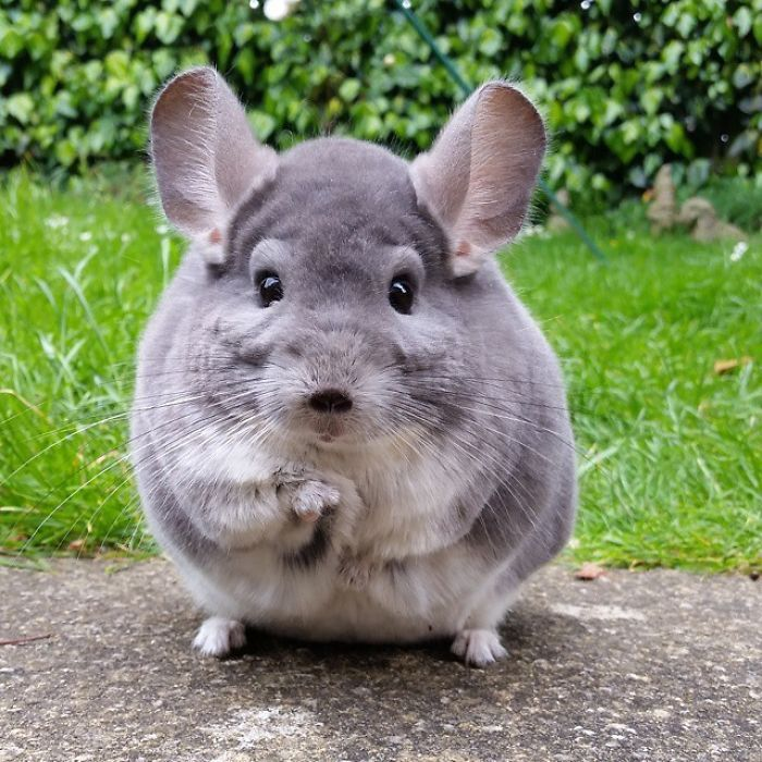 chinchilla4