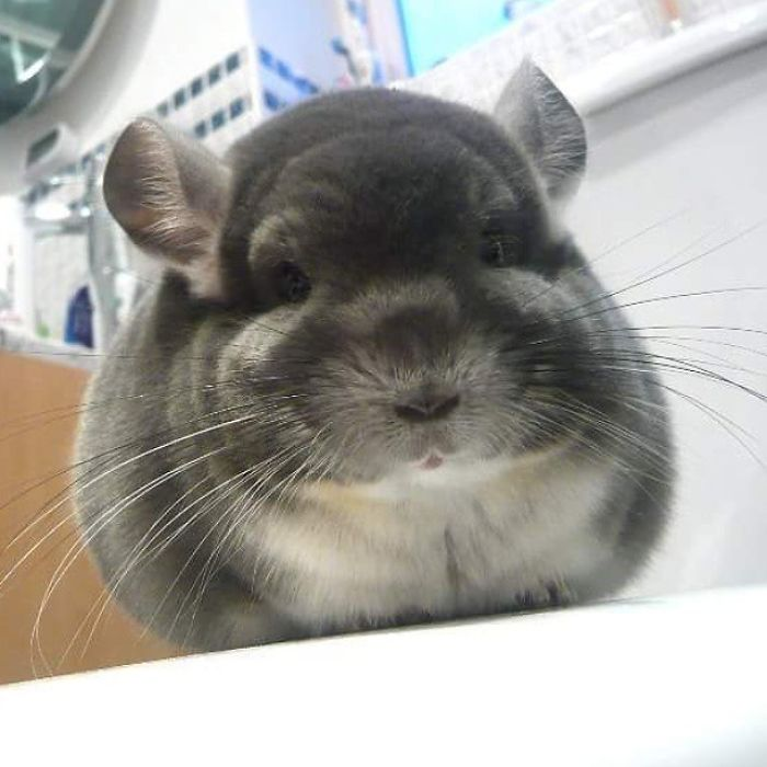 chinchilla6