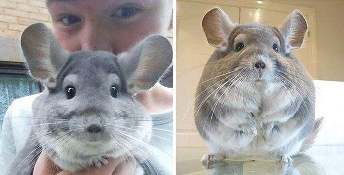 chinchilla7