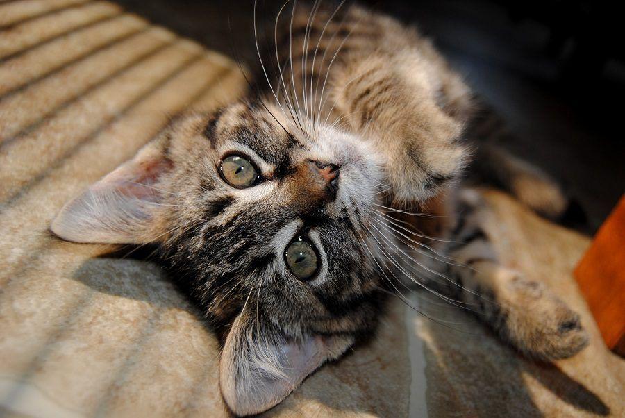 I gattini rispetto agli adulti sono più sensibili all'infezione da FeLV