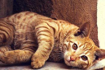 FeLV nel gatto, i sintomi e cosa fare in caso di Leucemia Virale Felina