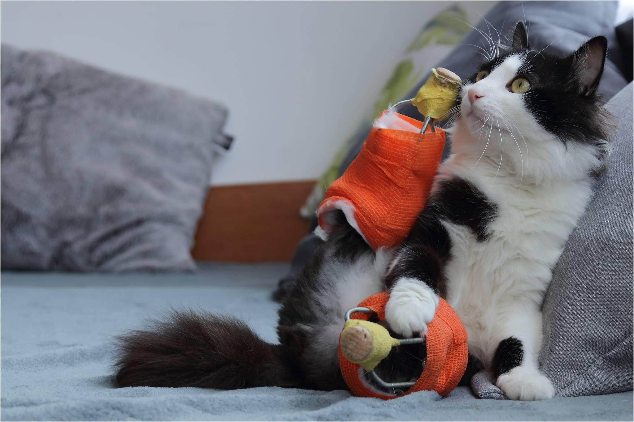Protesi bioniche per due gatti bulgari