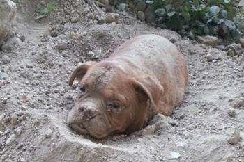 La storia di Athena, la cagnolina anziana seppellita viva