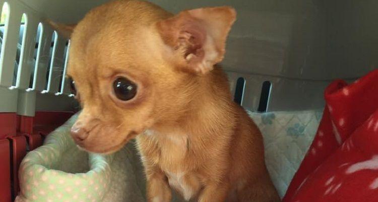 Una piccola Chihuahua salvata da un allevamento non smette di tremare