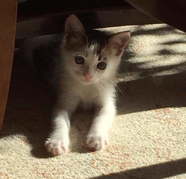 Rare-Calico-Boy-Kitten-4-600x578
