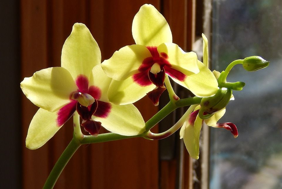 Le orchidee hanno bisogno di luce tutto l'anno