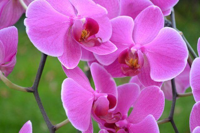 Le orchidee sono anche tra i fiori più delicati.