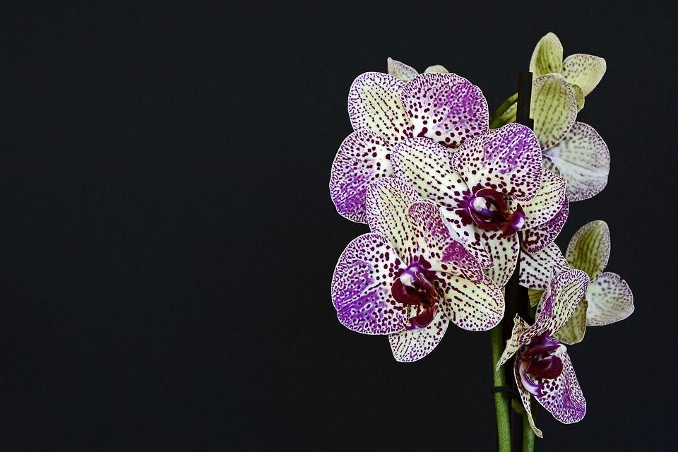 Le orchidee hanno bisogno anche di un certo grado di umidità: bagno e cucina sono le stanze ideali.