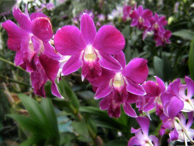 Scegliete varietà di orchidee adatte per essere coltivate in vaso e per vivere in casa.
